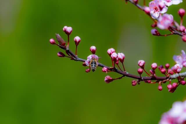 a bee rests on a branch covered in pink flower buds